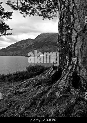 OLD FIR TREE ON THE BONNY BANKS OF LOCH LOMOND - Stock Photo