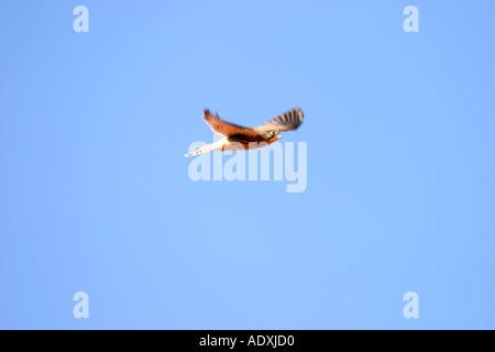 flying kestrel Turmfalke im Flug - Stock Photo