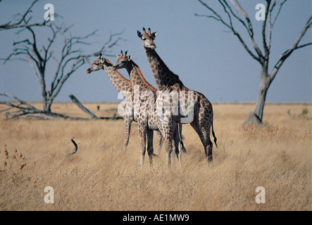 Three Common or Southern Giraffe near Savuti South on Chobe National Park Botswana southern Africa - Stock Photo