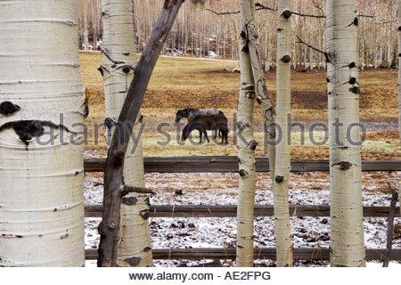 Belgian Draft Horses in a Meadow Framed by Aspen Trees Aspen Colorado - Stock Photo
