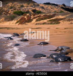 Giant female marine turtles rest on sandy beach avoiding amorous males at sea Isla Bartolome The Galapagos Islands - Stock Photo