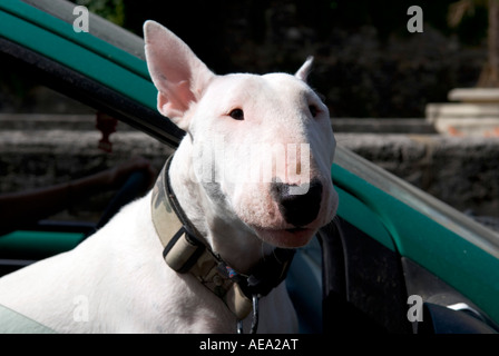 an english bull terrier leans out of a moving car window with his leg hanging down - Stock Photo