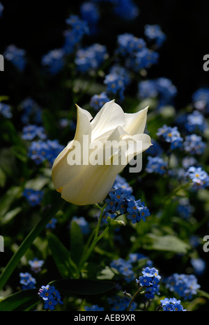 A little white spring tulip flower amongst a carpet of blue forget-me-nots - Stock Photo