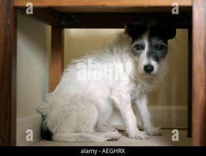 Jack Russell Terrier - Stock Photo