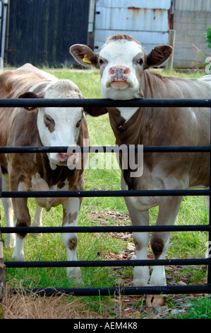 Cattle Portrait - Stock Photo