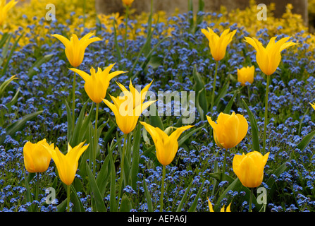 A little group of yellow Tulips and Blue Forget-me-nots spring - Stock Photo