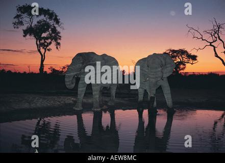 Two male elephants drinking at a waterhole near Savuti South Chobe National Park Botswana southern Africa - Stock Photo
