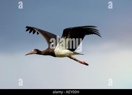 Abdims or White bellied Stork Ciconia abdimii in flight Masai Mara Kenya - Stock Photo