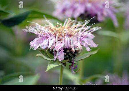 Scarlet Beebalm Monarda didyma also called Oswego Tea or Bergamot - Stock Photo