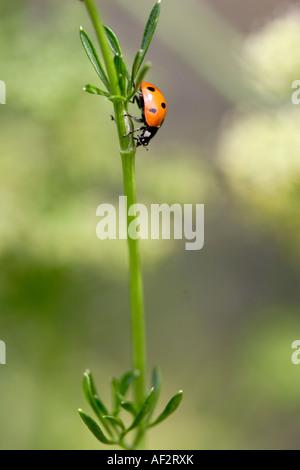 Seven spot ladybird Coccinella septumpunctata climbing down plant stem England UK - Stock Photo