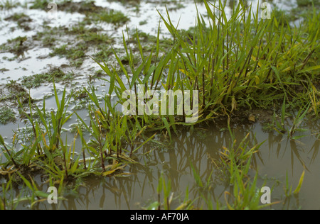 Young barley plants and weeds standing in water after heavy rain - Stock Photo