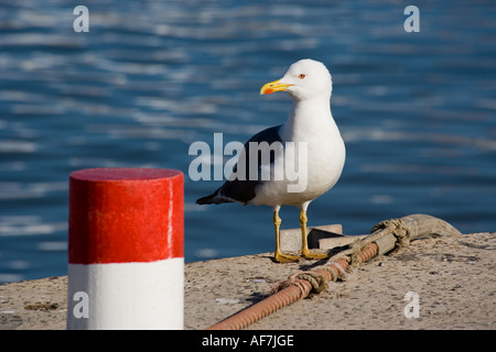 Yellow-legged Gull Portrait on Boat Dock - Stock Photo
