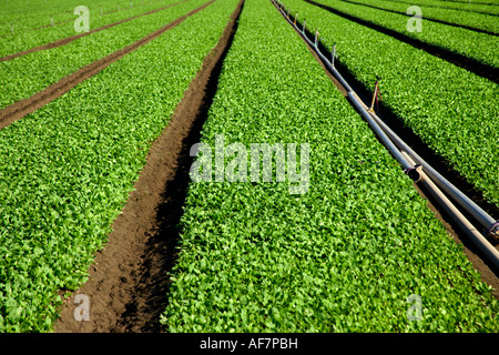 Baby Spinach growing in field. - Stock Photo