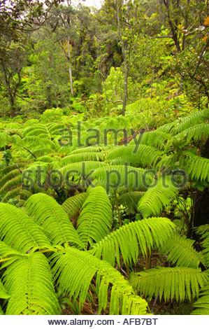 Ferns on walk to Thurston Lava Tube Kilavea Iki Hawaii Volcanoes National Park Big Island of Hawaii Hawaii USA - Stock Photo