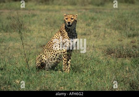 Cheetah sittig in the grassland of Serengeti National Park, Tanzania - Stock Photo