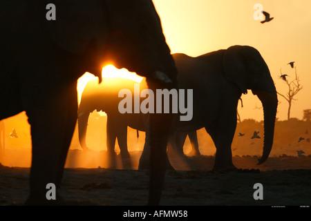 Silhouette of African elephants Savuti Botswana - Stock Photo