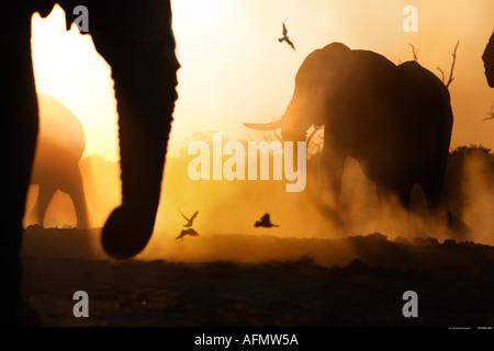 African elephants at sunset Savuti Botswana - Stock Photo