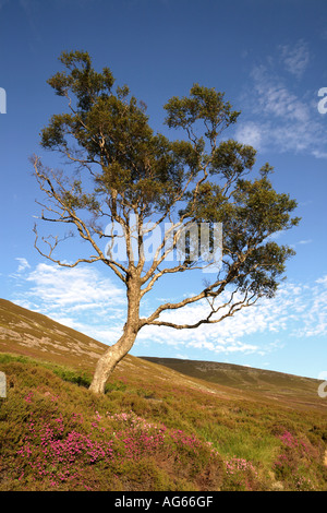 Scottish bell heather, and single tree on Scottish moorland.  Scotland uk - Stock Photo
