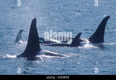 Orcas or killer whales - Stock Photo
