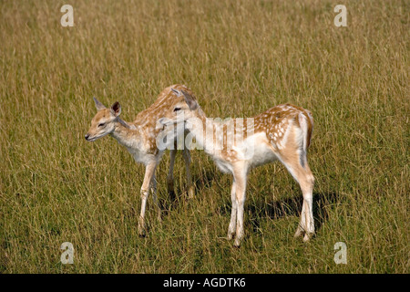 Fallow Deer Cervus dama Fawns - Stock Photo
