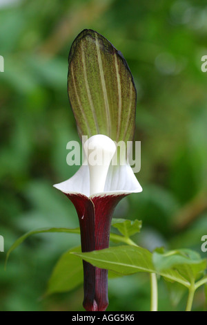 Snow Rice-Cake Plant (Arisaema sikokianum), single blossom - Stock Photo