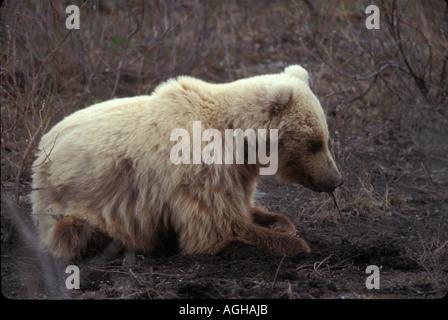 USA Alaska Denali National Park Park Road Toklat Grizzly pulling root from Toklat Riverbed - Stock Photo