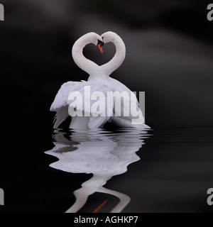 Two swans in loveplay in calm lake, Sweden - Stock Photo