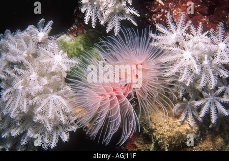 Magnificent Tube Worm, Protula bispiralis, previously Protula magnifica. - Stock Photo