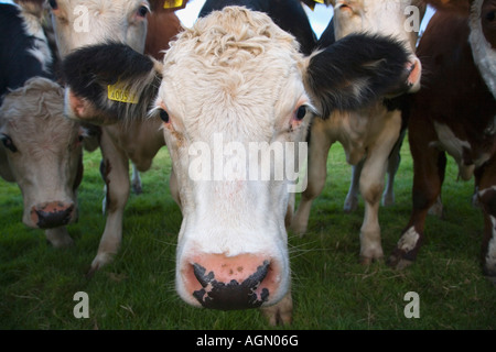 Group of Cattle England - Stock Photo