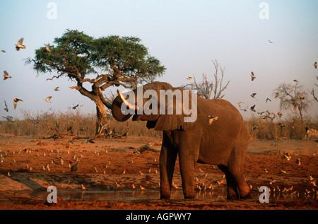 African Elephant / Afrikanischer Elefant - Stock Photo