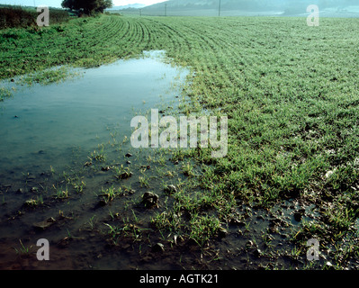 Lying water in seedling cereal crop barley after heavy autumn rain - Stock Photo