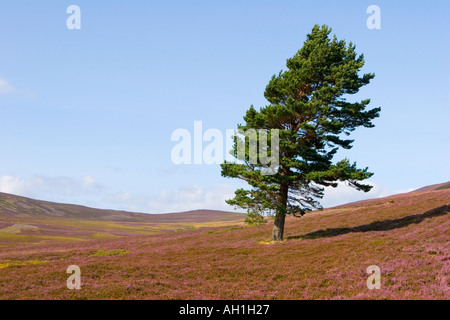 Ling Heather in flower scotland;  Scottish moors and single Caledonian Pine trees Mar Lodge Estate, Braemar Cairngorms - Stock Photo