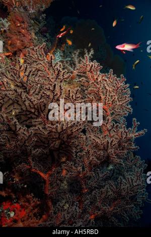 Maldives South Ari Atoll Maalhos Brittle Soft Coral Siphonogorgia Sp - Stock Photo