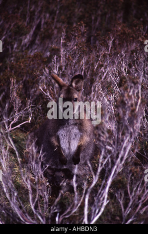 A Tasmanian Wallaby with a joey in its pouch, Cradle Mountain Lake St Clair National Park, Tasmania, Australia - Stock Photo