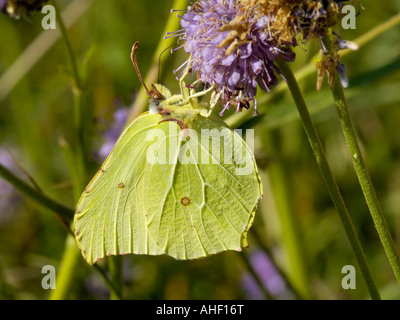 Brimstone Gonepteryx rhamni Feeding on Field Scabious - Stock Photo