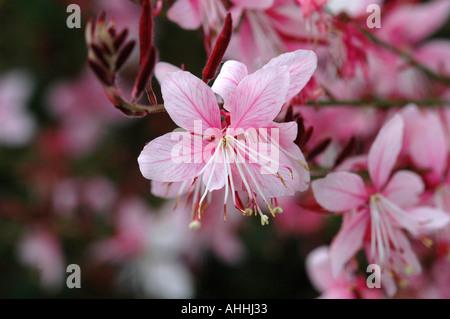 Gaura lindheimeri Siskiyou Pink - Stock Photo