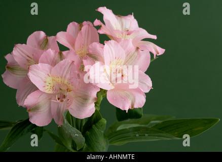Peruvian lily - Stock Photo