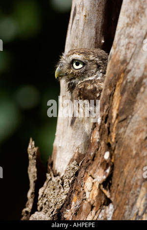 Little owl Athene noctua young bird looking out of nest hole - Stock Photo