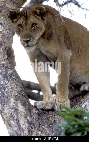 A tree climbing lioness in Ruwenzori or Queen Elizabeth National Park Uganda - Stock Photo