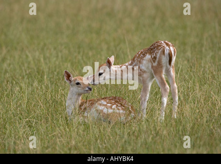Fallow Deer Fawns Cervus dama - Stock Photo