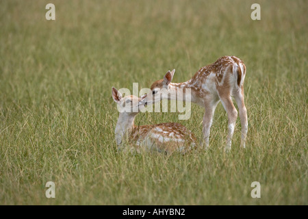 Fallow Deer Fawns Cervus dama Kissing - Stock Photo