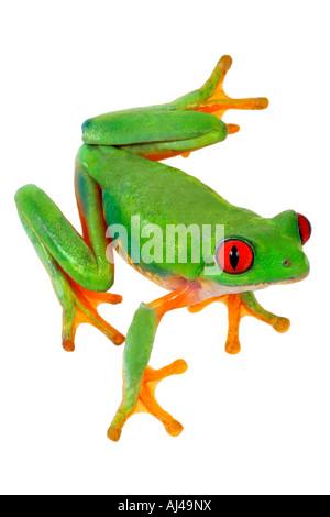 red eyed treefrog redeyed treefrog redeye treefrog red eye treefrog red eyed frog Agalychnis callidryas - Stock Photo