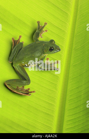 Blanford's whipping frog, asian gliding tree frog, asian gliding treefrog (Rhacophorus dennysi), sitting on leaf - Stock Photo