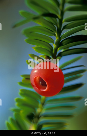Aril seed cup of Pacific Yew tree Taxus brevifolia - Stock Photo