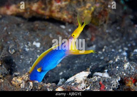 Blue Ribbon Eel (Rhinomuraena quaesita) in Lembeh Strait Northern Sulawesi, Indonesia - Stock Photo