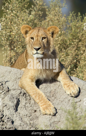 Male Lion (Panthera leo) Cub Lying on an Termite Mound - Stock Photo