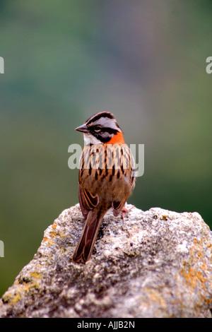 Rufous-collared sparrow ( Zonotrichia capensis ) Principal Plaza UNESCO World Heritage Site Machu Picchu Peru Andes - Stock Photo