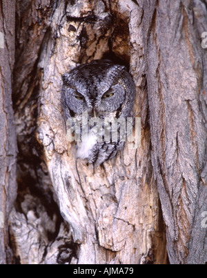 Eastern Screech Owl Vertical - Stock Photo
