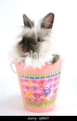 Siamese Lionhead Rabbit in pink Easter bucket isolated on white background - Stock Photo
