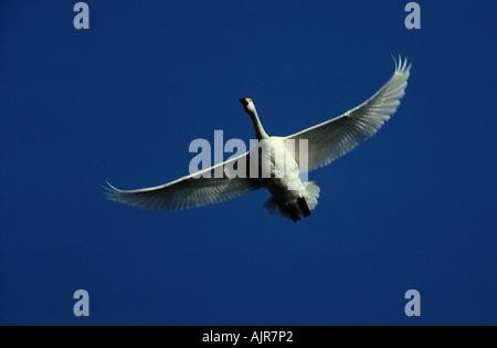 Bewick s Swan Netherlands Cygnus columbianus bewickii - Stock Photo